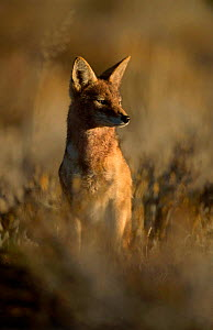 Black backed jackal at dusk {Canis mesomelas} Kgalagadi TFP South Africa  -  Andrew Parkinson