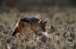 Black backed jackal stalking rodent prey {Canis mesomelas} Kgalagadi TFP South Africa  -  Andrew Parkinson