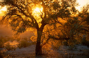 Acacia tree {Acacia sp} backlit by evening light Kgalagadi TFP South Africa  -  Andrew Parkinson