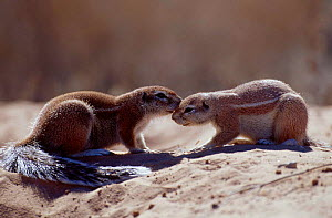 Cape ground squirrels being affectionate {Xerus inauris} Kgalagadi TFP South Africa  -  Andrew Parkinson