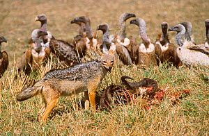 Black backed jackal at Wildebeest carcass Ruppells vultures wait their turn. Kenya  -  Carine Schrurs