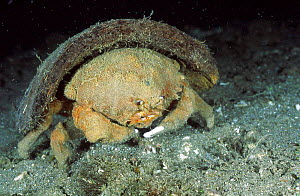 Sponge crab {Lauridromia dehaani} carries cocount shell Anilao Batangas Philippines  -  Carine Schrurs