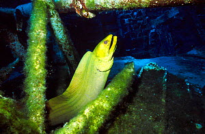 Green moray eel {Gymnothorax funebris} on ship wreck Cayman brac BWI Caribbean russian  -  Carine Schrurs