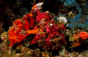 Warty frogfish pair mating {Antennarius maculatus} larger fish is female. Anilao  -  Carine Schrurs