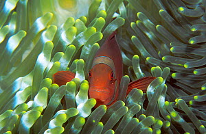 Spine cheeked anemonefish living in Bulb-tentacle sea anemone. Sulawesi Indonesia  -  Constantinos Petrinos