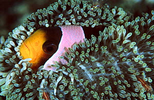 Spine cheeked anemonefish living in Haddons sea anemone. Sulawesi Indonesia {Amphiprion  -  Constantinos Petrinos