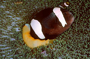 Black melanistic Spine cheeked anemonefish living in Haddons sea anemone. Sulawesi Indonesia  -  Constantinos Petrinos