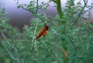 Rufous hummingbird {Selasphorous rufus} Arizona USA Green valley  -  Tom Vezo