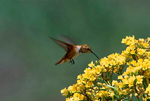 Rufous hummingbird at flowers {Selasphorous rufus} Arizona USA Green valley  -  Tom Vezo