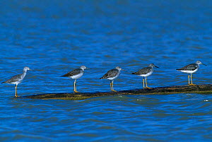 Five Lesser yellowlegs on floating log {Tringa flavipes} Bosque del Apache NM USA  -  Tom Vezo