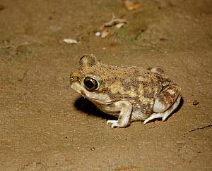 Couchs spadefoot toad {Scaphiopus couchii} C Arizona USA  -  Barry Mansell