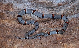 Grey banded kingsnake {Lampropeltis alterna} C - Barry Mansell
