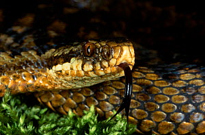 Female Adder tasting the air with tongue {Vipera berus} Purbeck Dorset UK 2000 - Tony Phelps