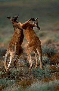 Male Red kangaroos fighting {Macropus rufus} Sturt NP, New South Wales Australia  -  Owen Newman