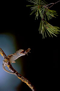 European chameleon feeding on grasshopper. Sequence 3/3. {Chamaeleo chamaeleon} Spain - Jose B. Ruiz