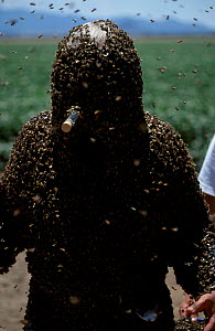 Bee man mimics queen Honey bee pheromone. Bees are attracted to protect him. {Apis mellifera} - Mark Brownlow