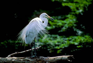 Intermediate egret {Egretta intermedia} Meiji Shrine Japan - David Pike