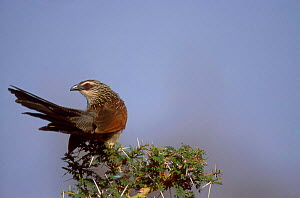 White browed coucal {Centropus superciliosus} Lake Manyara Tanzania - David Pike