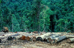 Logging in rainforest - numbered  cut logs ready for transport. Sabah, Borneo - PETER SCOONES