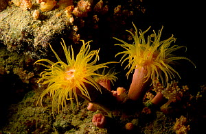 Coral polyps with tentacles open {Drophylla sp} Indo-pacific - PETER SCOONES