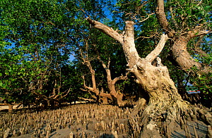 Mangrove roots exposed at low tide Sulawesi Indonesia  -  Georgette Douwma