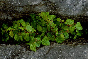 Hazel {Corylus avellana} growing in limestone pavement. Burren Co Clare Eire.  -  DAVID TIPLING