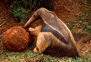 Giant anteater feeding from termite mound {Myrmecophaga tridactyla} captive occurs - Pete Oxford