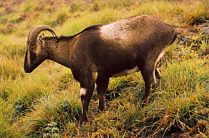 Nilgiri tahr male {Hemitragus hylocrius} South India - Lockwood Dattatri