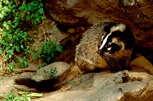 Masked palm civet (Paguma larvata) thought to be connected to SARS virus.  Sichuan Province, China.  -  Pete Oxford