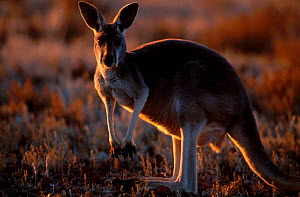 Female Red kangaroo backlit at sunset {Macropus rufus} Sturt NP New South Wales Australia  -  Owen Newman