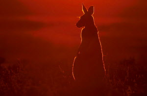 Female red kangaroo backlit in evening sun {Macropus rufus} Sturt NP NSW Australia  -  Owen Newman