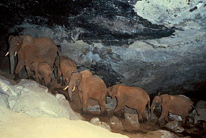 African elephants in Kitum cave mineral source {Loxodonta africana} Mt Elgon NP Kenya NB  -  IAN REDMOND