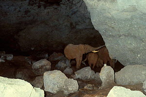 African elephant testing Kitum cave wall for minerals {Loxodonta africana} Mt Elgon  -  IAN REDMOND
