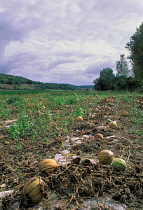 Field of Melons ready for harvest Toulouse France.  -  Dan Burton