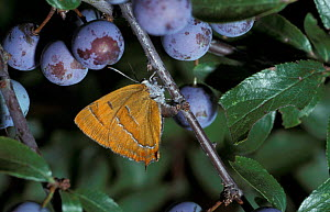 Brown hairstreak butterfly female ovipositing {Thecla betulae} Hampshire UK - George McCarthy