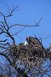 Indian white backed vulture with chick at nest {Gyps bengalensis} Keoladeo NP India - Ashok Jain