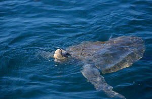 Olive ridley turtle swims in sea with head out. Costa Rica {Lepidochelys olivacea} - Ben Osborne