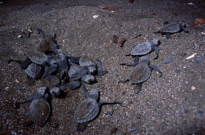 Olive ridley turtle hatchlings head for the sea. Costa Rica {Lepidochelys olivacea} - Ben Osborne