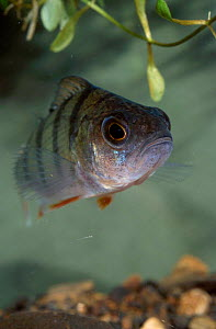 Perch {Perca fluviatilis} UK  -  Paul Hobson