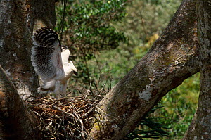 Crested eagle juvenile stretching wings on nest {Morphnus guianensis} Peru - Pete Oxford