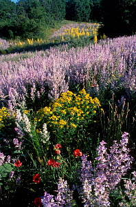 {Salvia sclarea} flowers used in perfume industry. Lure mountain Provence France - Jean E. Roche