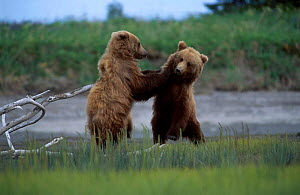 Two juvenile Brown bears playfighting {Ursus arctos} Silver Salmon Creek USA - David Pike