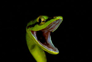Short nosed vine snake threat display {Oxybelis brevirostris} Ecuador - Doug Wechsler