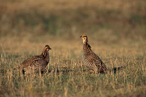 Prairie chicken males in stand off {Tympanuchus cupido} Wisconsin USA  -  Thomas Lazar