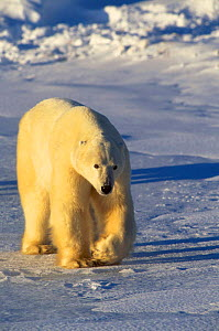 Polar bear walking {Ursus maritimus} Hudson Bay Canada - Terry Andrewartha