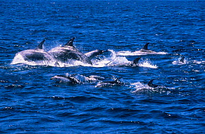Rissos and Pacific white-sided dolphins {Grampus griseus} {Lagenorhynchus obliquidens} CA  -  Peggy Stap