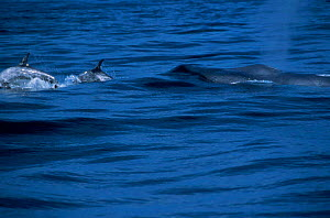 Blue whale {Balaenoptera musculus} Rissos dolphins Monterey Bay California USA  -  Peggy Stap