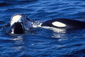 Killer whale {Orcinus orca} feeding on Grey whale calf. Monterey Bay California USA  -  Peggy Stap