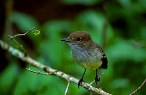 Galapagos flycatcher {Myiarchus magnirostris} endemic Galapagos  -  Mike Read