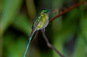 Long tailed sylph male {Aglaiocercus kingi} San Isidro Galapagos  -  Mike Read